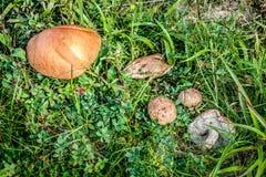 3 гриба в крупном плане травы на летнем дне Стоковые Изображения RF