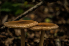 2 гриба в древесинах Стоковые Фото
