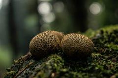 2 гриба в древесинах Стоковые Фотографии RF