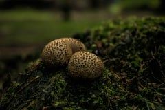 2 гриба в древесинах Стоковое Изображение RF