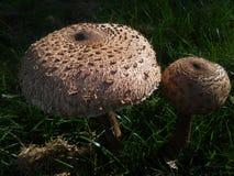 2 гриба леса в парке Стоковые Фотографии RF