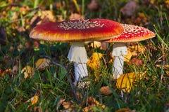 2 гриба мухомора Стоковые Изображения RF