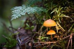 2 гриба на мхе Стоковые Изображения