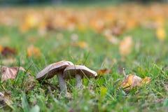 2 гриба на траве в осени Стоковые Изображения