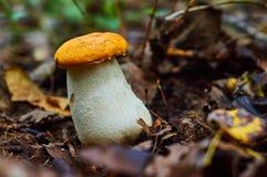 гриба дня осины поднимающее вверх близкого солнечное Стоковые Изображения