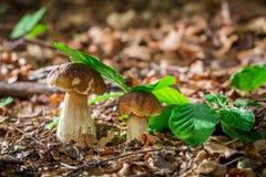 2 гриба подосиновика в лесе дуба Стоковые Изображения