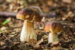 2 гриба подосиновика в лиственном лесе Стоковое Изображение