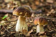2 гриба подосиновика в лиственном лесе Стоковое Изображение RF