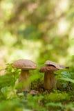 2 гриба подосиновика растя в зеленом лесе Стоковые Изображения RF