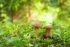 2 гриба подосиновика растя в зеленом лесе Стоковая Фотография RF