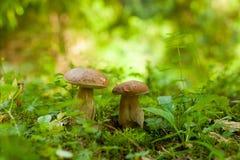 2 гриба подосиновика растя в зеленом лесе Стоковое Изображение