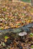2 гриба растя под лесом падения имени пользователя Стоковые Изображения RF