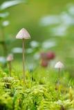 2 гриба Conocybe в мшистой земле Стоковое Изображение RF