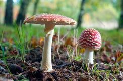 2 гриба muscaria мухомора Стоковые Изображения RF