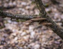 3 грибка на ветви Стоковое Изображение RF