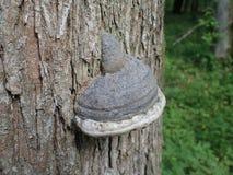 Грибки в национальном парке Bialowieza, Польше Стоковое фото RF
