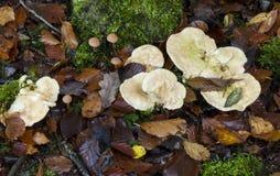 Грибки ежа repandum Hydnum деревянные Стоковая Фотография