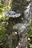 Грибки паразита растя на старом стволе дерева березы Стоковые Изображения RF