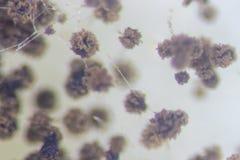 Грибки, прессформа хлеба Rhizopus под микроскопом стоковое изображение rf