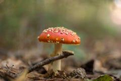 Грибки пластинчатого гриба мухы в лесе Стоковые Фотографии RF
