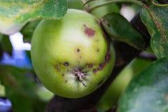 Грибковая инфекция яблок стоковая фотография rf