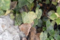Грибковое заболевание в листьях Стоковое Фото