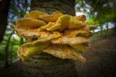 Грибное sulphureus Laetiporus стоковая фотография rf