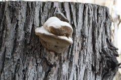 Грибной паразит на дереве Стоковая Фотография