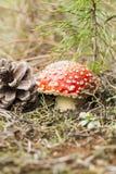 Грибной пластинчатый гриб мухы в одичалом Стоковое Изображение