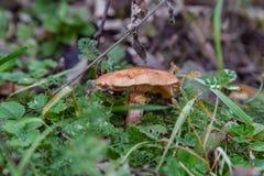 Грибной Armillaria Стоковое Фото