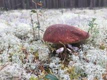 Грибок белого гриба белый растя в лесе во мхе стоковые фотографии rf