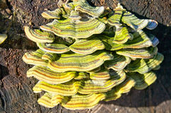 Грибок гриба дерева на отрезанном конце журнала вверх Стоковое Изображение