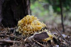 Грибок гриба цветной капусты на дереве Стоковое Изображение RF