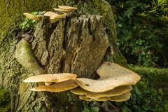 Грибок кронштейна на большом пне дерева Стоковое Изображение RF
