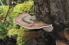 грибок кронштейна южный Стоковые Фото