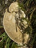 Грибок кронштейна Стоковые Изображения RF
