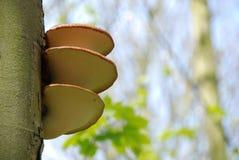 грибок кронштейна Стоковые Фотографии RF