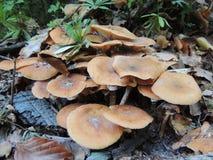 Грибок меда пластинчатого гриба Mellea Armillariella Стоковое фото RF