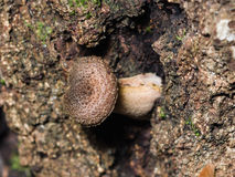 Грибок меда пластинчатого гриба на дереве березы, макросе, селективном фокусе Стоковые Изображения RF