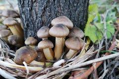 Грибок меда пластинчатого гриба Стоковые Фото
