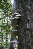 Грибок полки растя на дереве в реальном маштабе времени стоковое изображение rf