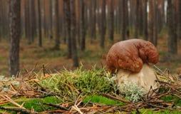 Грибок плюшки Пенни (подосиновик edulis) Стоковое Изображение