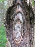 Грибок создает наслоенные узлы в дереве Стоковое Фото