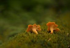 грибок Стоковое Изображение RF