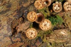 Грибок laeve Crucibulum стоковая фотография