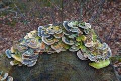 Грибок Turkeytail стоковые изображения