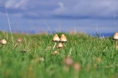 Грибы волшебства гриба псилоцибина Стоковое Изображение
