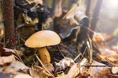 Грибы в грибах bovinus леса стоковая фотография