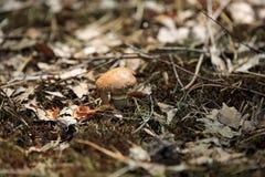 Грибы в природе с малой глубиной поля Стоковое Изображение RF