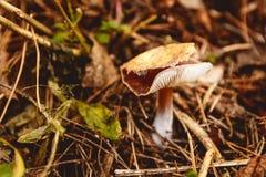 Грибы в расчистке в лесе гриба осени Стоковое Фото